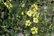 Verbascum sinuatum 0545 (*)