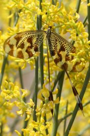 Nemoptera bipennis 9624 (**)