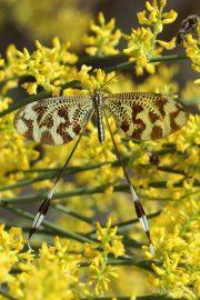 Nemoptera bipennis 9632 (**)