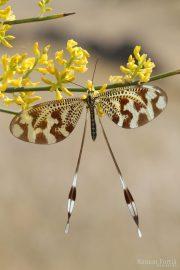 Nemoptera bipennis 9638 (**)