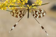 Nemoptera bipennis 9639 (**)