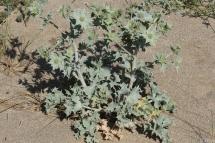 Panical marí (Eryngium maritimum)