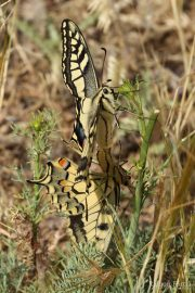 Papilio machaon 9602 (**)