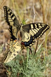 Papilio machaon 9604 (**)