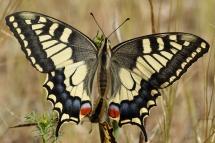 Papilio machaon 9600 (**)