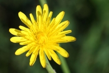 Hypochoeris radicata 1232 (*)