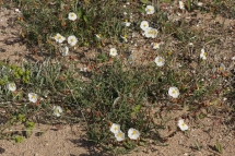 Perdiguera (Helianthemum apenninum)
