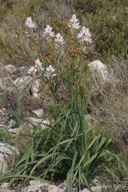 Asphodelus cerasiferus 1803 (*)