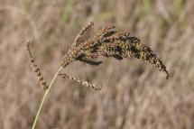 Echinochloa crus-galli 2077 (*)