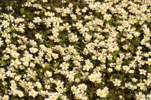 Ranuncle aquàtic (Ranunculus aquatilis)