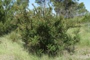 Coriaria myrtifolia 9483 (*)