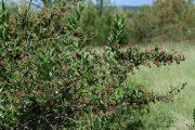 Coriaria myrtifolia 9484 (*)