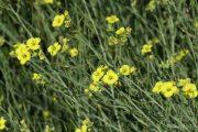 Diplotaxis tenuifolia 0945 (*)