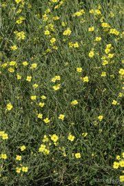 Diplotaxis tenuifolia 0949 (*)