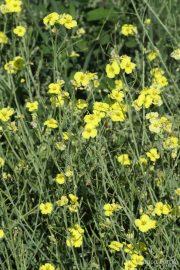 Diplotaxis tenuifolia 0950 (*)