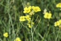 Diplotaxis tenuifolia 0948 (*)
