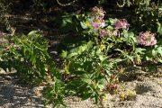 Saponaria officinalis 0546 (*)