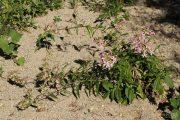 Saponaria officinalis 0547 (*)