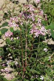 Saponaria officinalis 0549 (*)