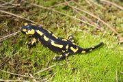 7732 Salamandra salamandra (**)