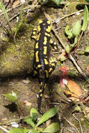 7784 Salamandra salamandra (**)