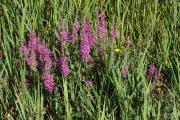 Lythrum salicaria 0904 (*)