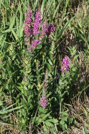 Lythrum salicaria 0908 (*)