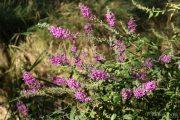 lythrum-salicaria-0921