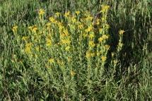 Inula crithmoides 0856 (*)