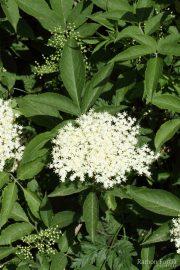 Sambucus nigra 9373 (*)