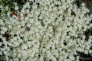 Sambucus nigra 9375 (*)