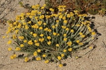 Helichrysum stoechas 0024 (*)