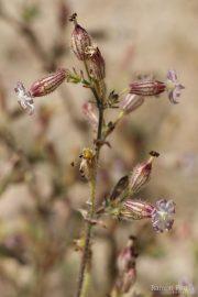 Silene niceensis 8869 (*)