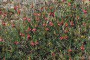 Onobrychis supina 9001 (*)