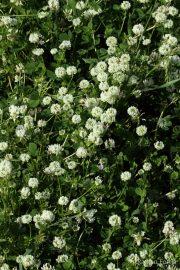Trifolium nigrescens 8922 (*)