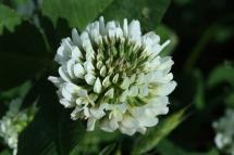 Trèvol blanc (Trifolium nigrescens)