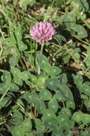 Trifolium pratense 1275 (*)