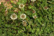 Trifolium repens 1856 (*)