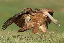 Voltor comú (Gyps fulvus)