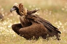Voltor negre (Aegypius monachus)