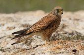 Falco tinnunculus 3356 (***)