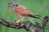 Falco tinnunculus 4690 (***)