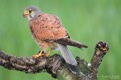 Falco tinnunculus 4776 (***)