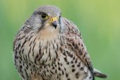 Falco tinnunculus 4885 (***)