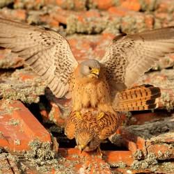 Falco naumanni 1317