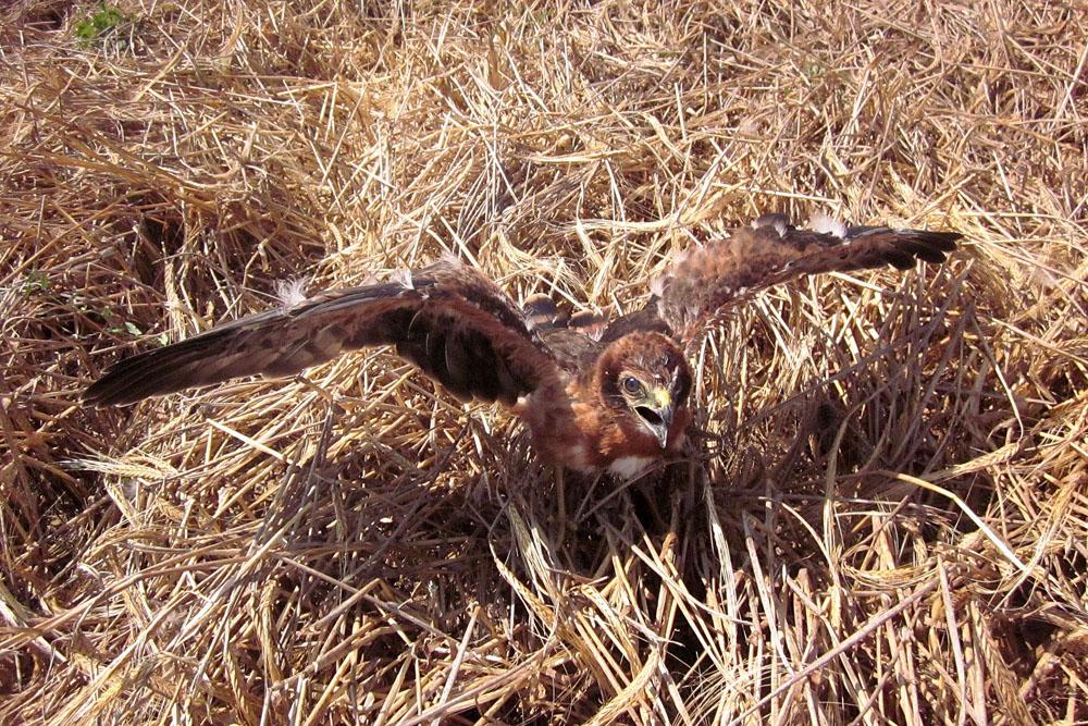 Poll volador a P2