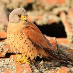 Falco-naumanni-1328