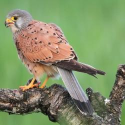 Falco-tinnunculus-4776