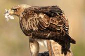 Aquila fasciata 8428 (****)