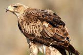 Aquila fasciata 8469 (****)
